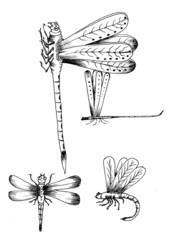 dragonfly hand drawn