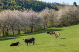 Cows on a meadow at spring