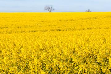 Flowering rape field