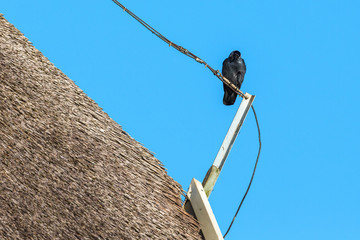 Jackdaw on a thatched roof