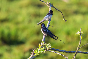 Pair of barn swallows on a tree branch