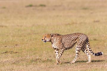 Cheetah walk