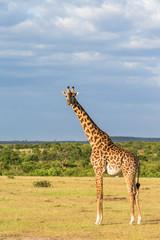 Giraffe standing at the savanna