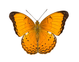 Isolated Orange Large yeoman butterfly
