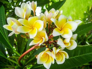 Plumeria, Frangipani