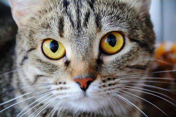 Cat's portrait with yellow eyes