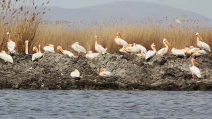 Large flock of great white pelicans in the danube delta