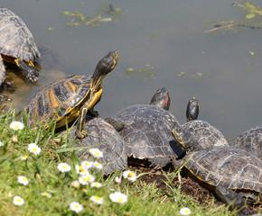 tartarughe acquatiche tropicali