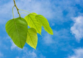 Bo leaves on a blue sky