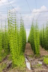 Plantation of hops