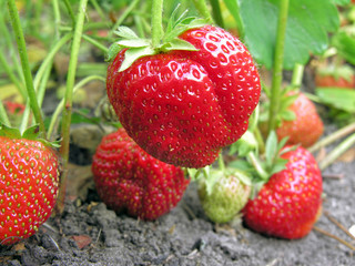close-up of the ripe strawberry