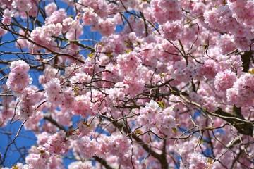 Frühlingsblüten - Japanische Kirschblüten