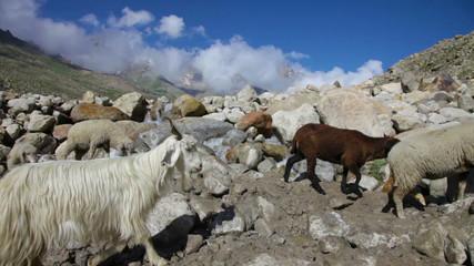 Sheep and goats. Mountain goats, Spiti Valley, Himachal Pradesh,