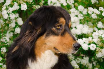 Profilo di un pastore australiano tricolore