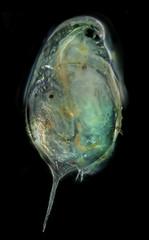 Cladocera -  daphnia (photography from microscope 50x)