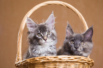 two fluffy Maine Coon kitten sitting in a basket