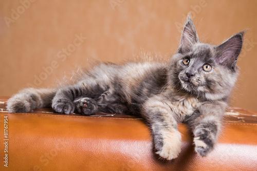 Fotobehang Lynx Cute Maine Coon kitten