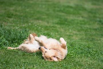 草原で寝転ぶゴールデンレトリバー