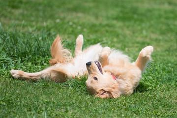 芝生で寝転ぶゴールデンレトリバー