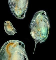 Cladocera -  daphnia head (photography from microscope 100x)