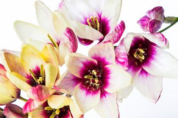 Fiore di Ixia maculata