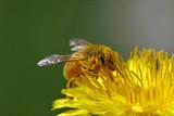 Honey bee going through a yellow flower