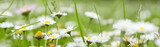 Fototapety Chamomile in grass