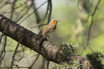 Erithacus rubecula on the tree