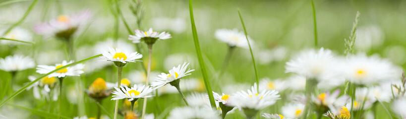 Chamomile in grass