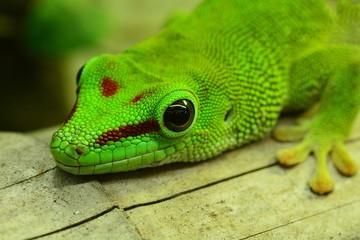 Madagasgar Day Gecko