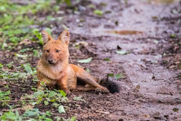 Wild dog closeup