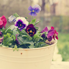 Tricolor violet in the old bucket. The rustic style. Photo tinte