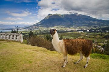 Portrait of cute llama in San Pablo lake, Imbabura, Ecuador