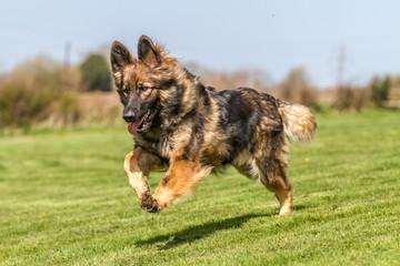 German Shepherd Dog running bouncing across grass.