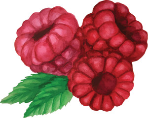Watercolor vector. Three raspberries on a branch