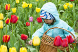 Adorable  toddler girl gathering tulips poster