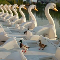 Patos subidos en patos barca