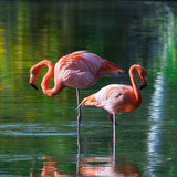 Fototapety Two pink flamingos stand in the water with reflections