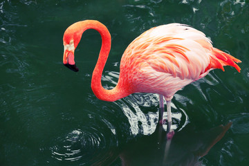 Pink flamingo walking in water with reflections