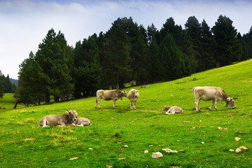 Cows in forest meadow