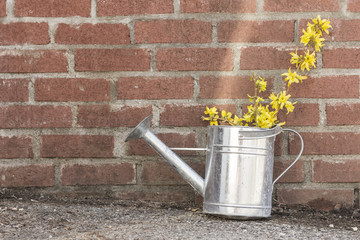 Forsythia Flowers Watering Can