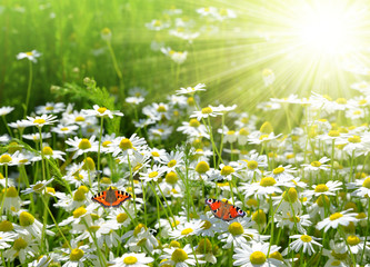 Field of daisies with butterflies . Nature background.