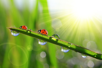 Fresh green grass with morning dew and ladybirds