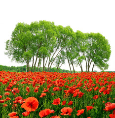 Red poppy field with trees on white background.