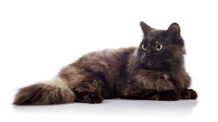 The fluffy domestic cat