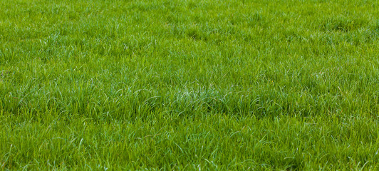 Beautiful green grass. Grass background. Green grass texture