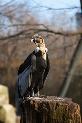 Portrait of Griffon vulture