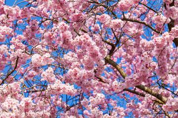 spring sakura pink flower