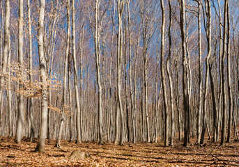 beech tree forests in autumn