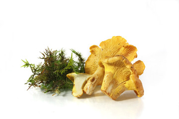 Fresh Mushroom Chanterelle with moss isolated onwhite background